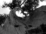 Twisted foxtail pine in BW