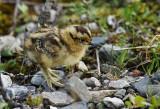 Willow Ptarmigan Chick
