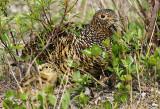 Ptarmigan chick and mom