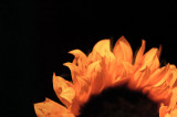 3rd October 2008  sun flower