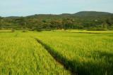 Paddy fields near Chiang Mai