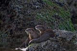 River Otters at Kalaloch