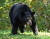 Black Bear Shenandoah NP Va