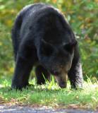 Black Bear Big Medaows NP Va