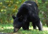 Black Bear Meadows NP Va