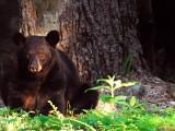Black Bear Big Mother Waiting Meadows NP Va