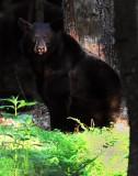 Black Bear  Looking at Me Big Meadows NP Va