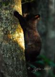 Black Bear Big  Cub Meadows NP, Va