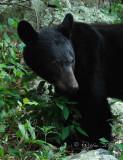 Black Bear  Big Meadows NP, Va