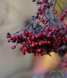 Hobblebush Berries Dyke Marsh, Va