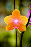 Orchid 18294