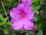 'Harris Purple'