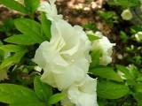 'White Rosebud'...