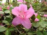 'Hoosier Rose'