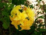 'Girard Yellow Pom Pom'
