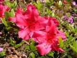 'Girard's Rose'