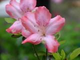 'Alpenrose'
