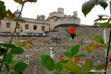 Tower Rose