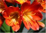 IMG_0014_Clivia en fleurs.jpg