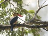 Kingfisher, Stork-Billed