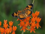 Checkerspots, Crescents and Patches