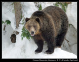 Grinder and Coola – Grizzlys at Grouse Mountain 2008