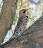 Northern Flicker (Yellow-shafted) male