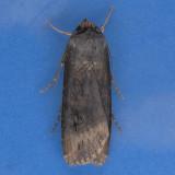 10658  Spotted Dart Moth - Agrotis stigmosa