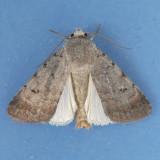 10903 Snowy Dart Moth - Euagrotis illapsa