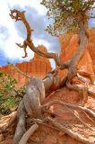 Brristlecone Pine