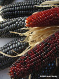 Red and black Indian Corn