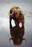 Buffalos in Kenya