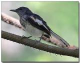 Oriental Magpie Robin - female