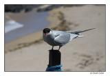 Artic Tern (087)