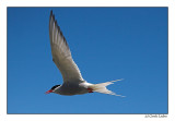 Artic tern (091)