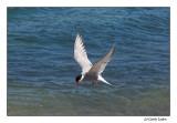 Artic Tern (099)