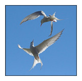 Artic Terns in Flight (0392)