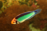Solar Fairy Wrasse (male)
