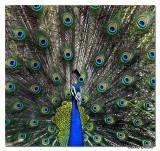 Indian Peafowl(Pavo cristatus) (M)-4208