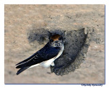 Streaked-throated Swallow-4229
