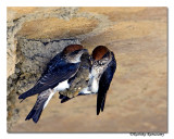 Streaked-throated Swallow-4288