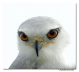 Black-winged Kite (Elanus caeruleus)-3472