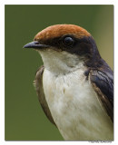 Wire-tailed Swallow-5912