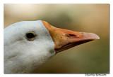 Duck-8490