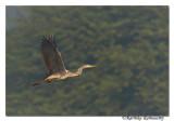 Purple Heron (Ardea purpurea)_DD34534