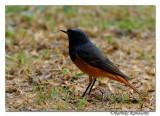 Black Redstart (Phoenicurus ochruros)_DD34735