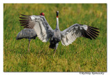 Sarus Crane(Grus antigone)
