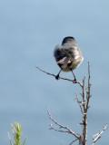 california gnatcatcher