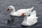 A Pair of Geese