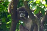 White Handed Monkey